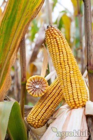 BALASCO - hibrid kukuruza FAO 410 - NOVO