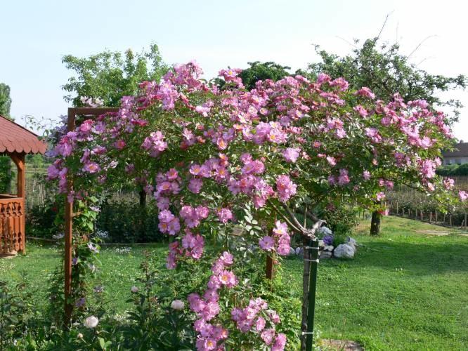 Ruža stablašica