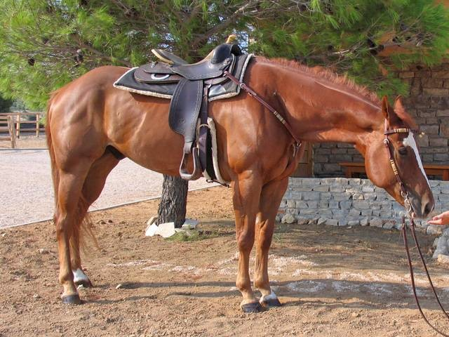 jpeg kobila sportski konj http www njuskalo hr domace zivotinje kobila