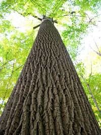 Sadnice - crni orah (Juglans nigra)