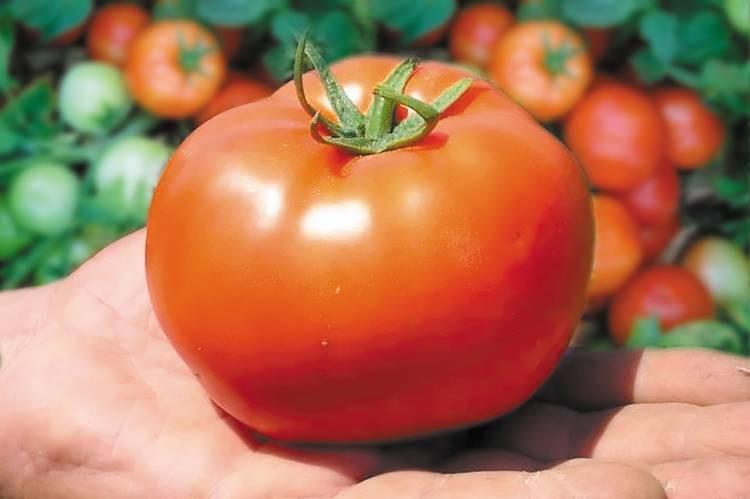 Bobcat -  rajčica