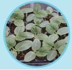 Emphasis lubenica