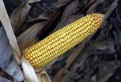 NK Timic - kukuruz - FAO 440