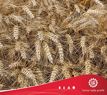 Pšenica Anapurna