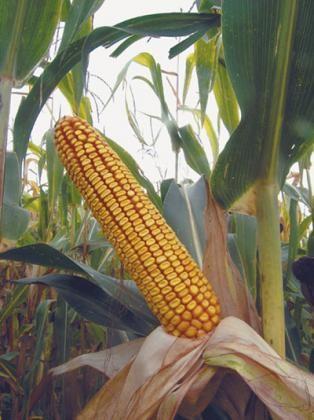 BC 244, FAO 250, kvalitetan zuban - hibridi kukuruza