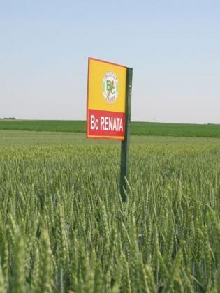 Pšenica - BC Renata