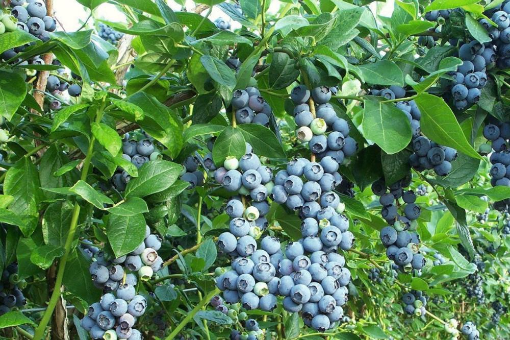 Trogodišnje sadnice borovnice – Blue Crop
