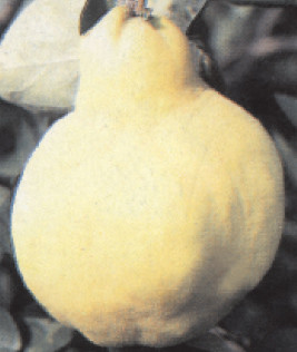 Dunja - Vranjska - sadnice