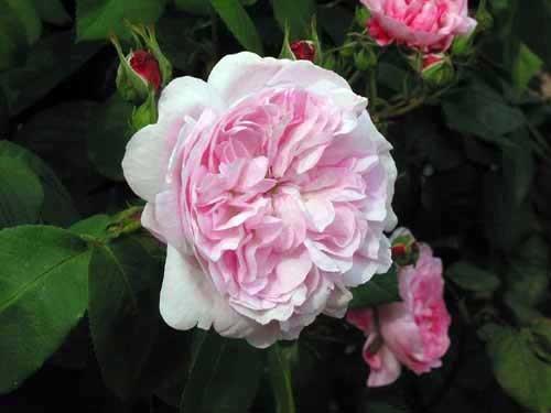 Starinske ruže - Fantin Latour