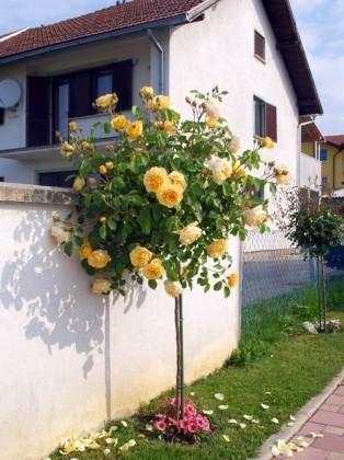 Graham Tomas - ruža stablašica