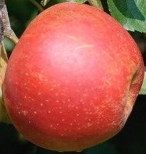 Pekmez od jabuke