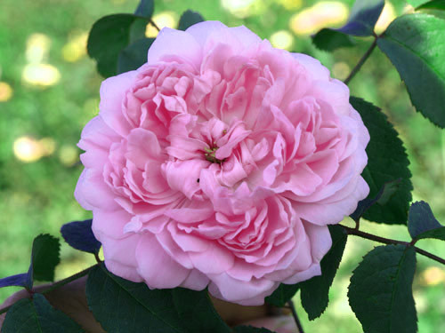 Starinske ruže - Jacques Cartier