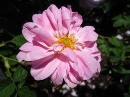 Starinske ruže - Kazanlik damašćanska ruža
