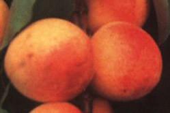 Marelica - Korai piroš (rana crvena) - sadnice