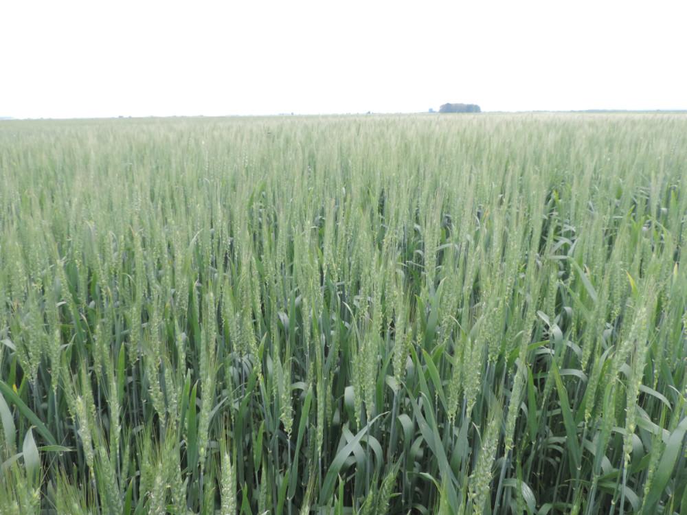 Pšenica Rebeka