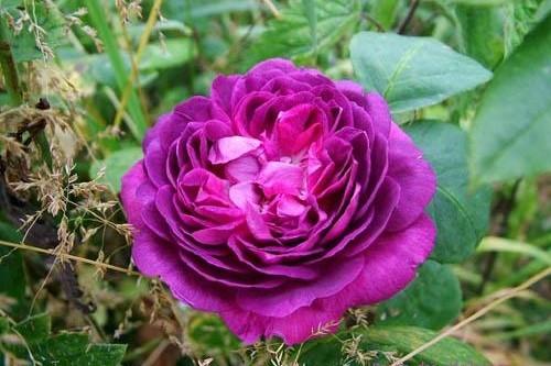 Starinske ruže - Reine des Violettes