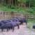 Crne svinje