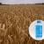 Izaberite fungicid za zaštitu strnih žita od bolesti!