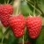 Malina - Willamette i Enrosadira - sertifikovane bezvirusne sadnice