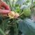 Fizalis/Peruanska jagoda na prodaju