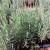 Jednogodisnje visegodisnje sadnice lavandule vera