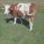 Prodajem visokosteonu kravu za držanj