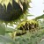 RGT Nicolleta - Sorta postrnog suncokreta u našoj ponudi