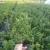 Sadnice borovnice – sadnice Duke i Bluecrop