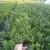Sadnice borovnice sorte Duke i Bluecrop