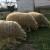 Sjeničke ovce