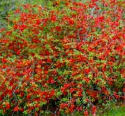 Chaenomeles japonica - Ukrasna dunja - sadnica