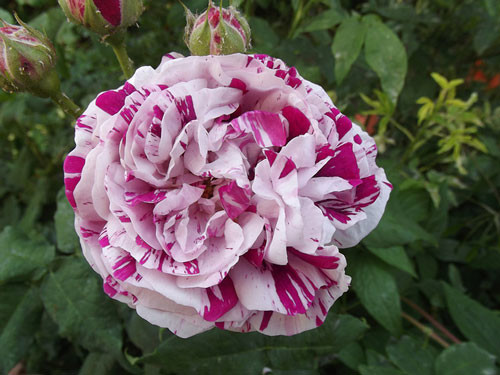 Starinske ruže - Variegata di Bologna