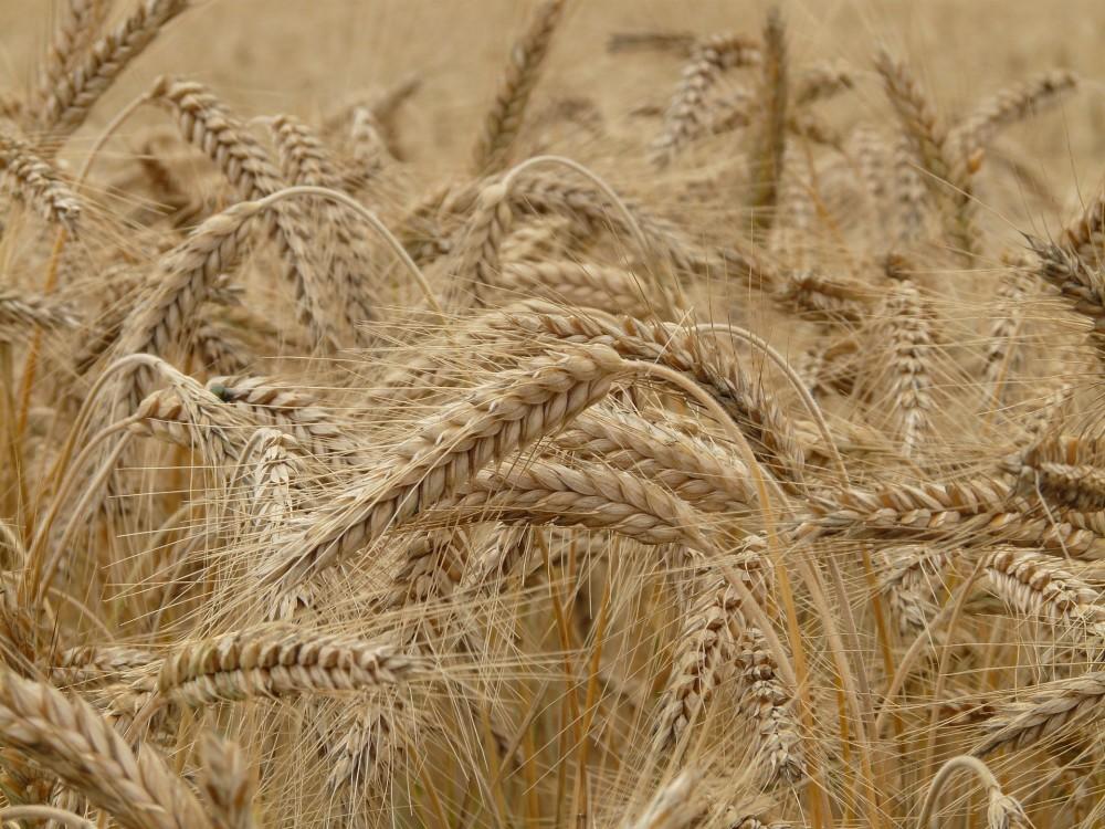 Otkup pšenice - sjeverozapadna Hrvatska