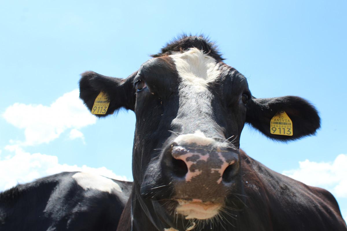 Holštajn goveda (55823)