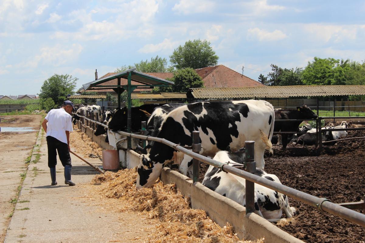 Mlečne krave i izložba životinja Pantelimon kod Bukurešta (55827)