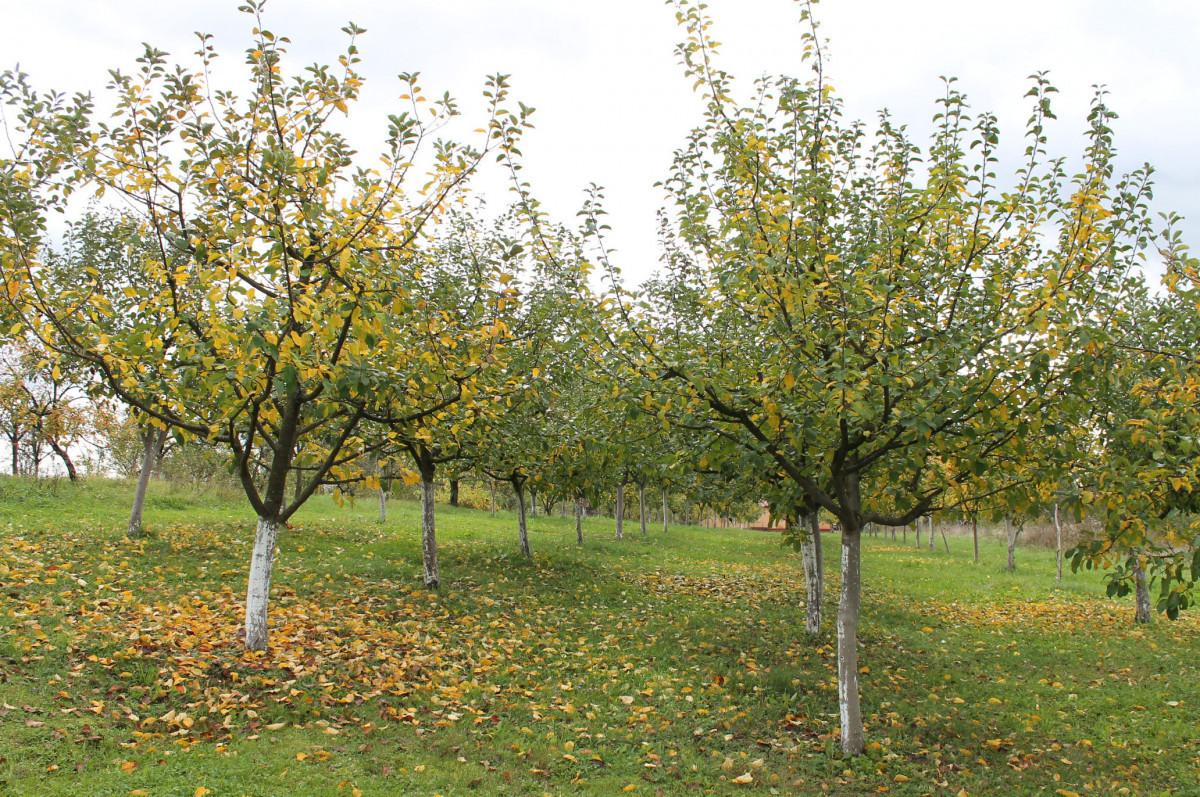 Mladi travnjački nasad jabuka (46249)