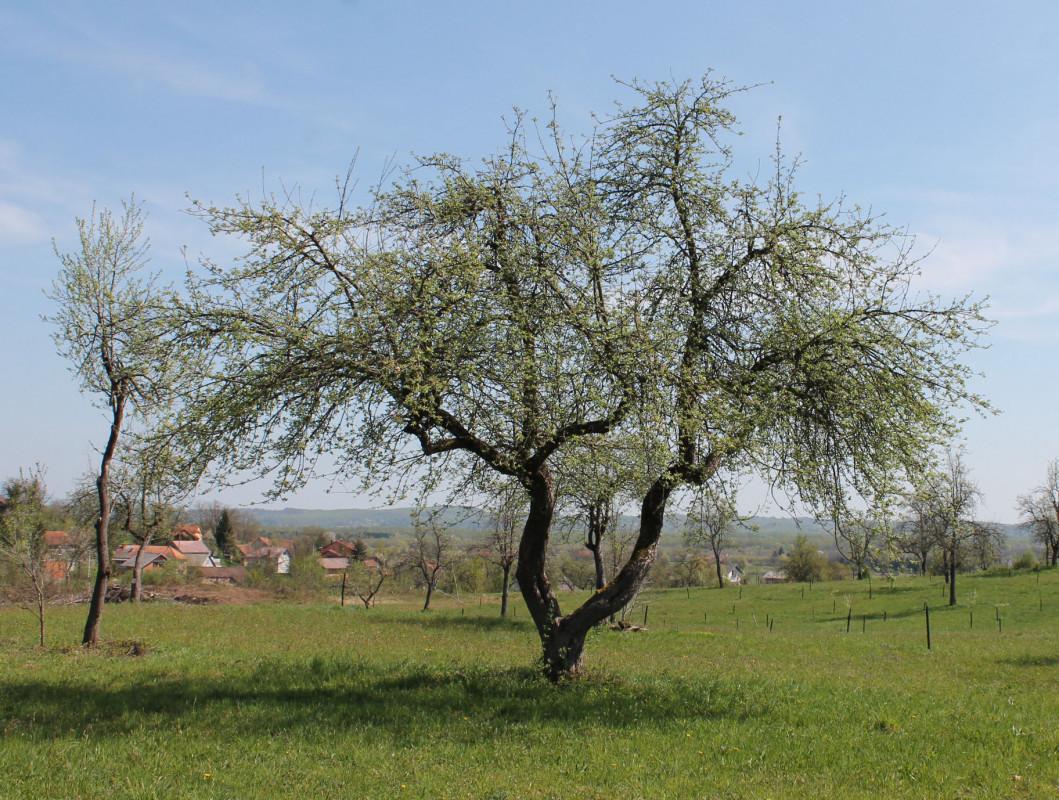 Očuvati stara stabla starih sorti (46250)