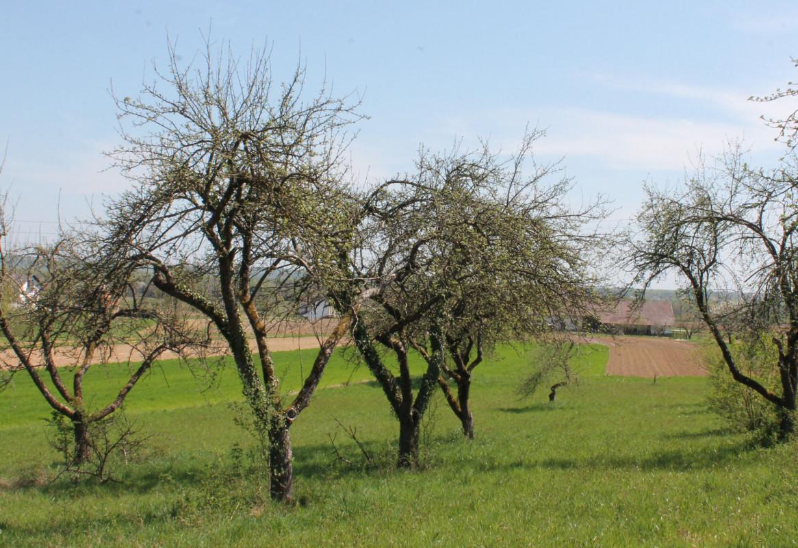 Tradicijski voćnjak (46254)