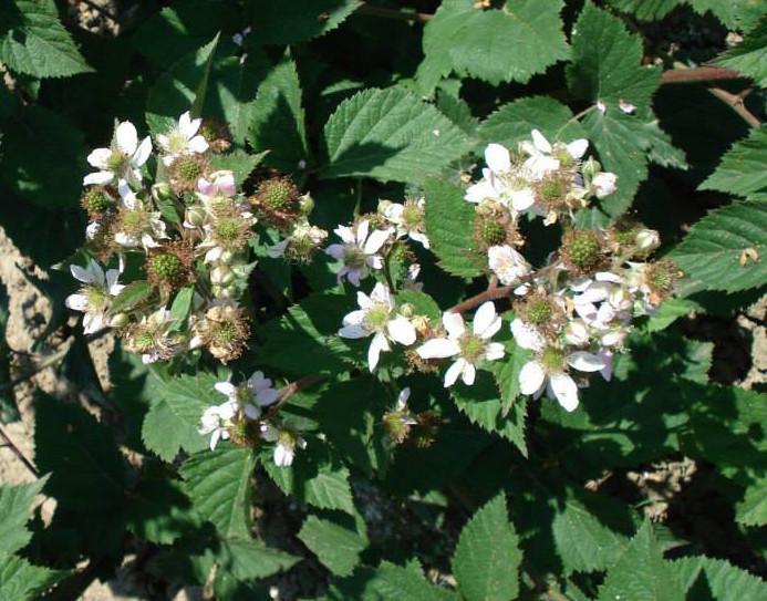 Obilna cvatnja i rod (46558)