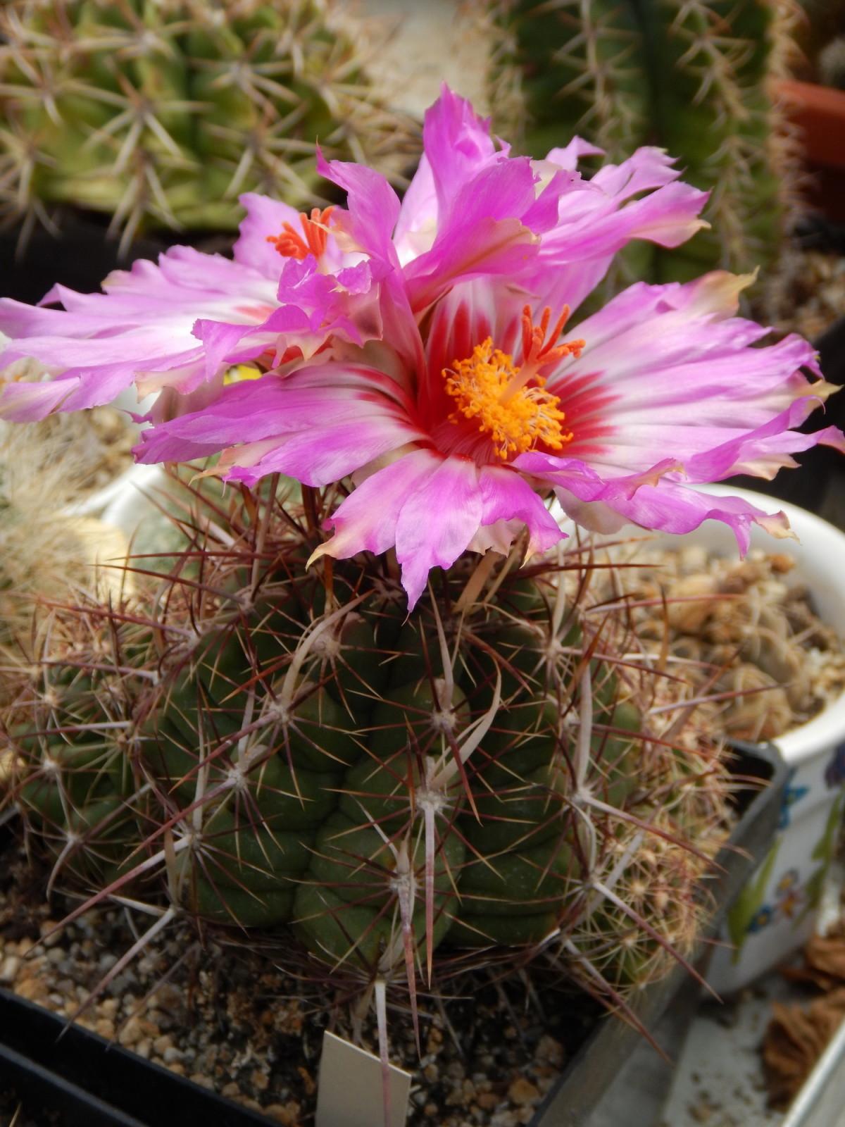 Kaktus cvet