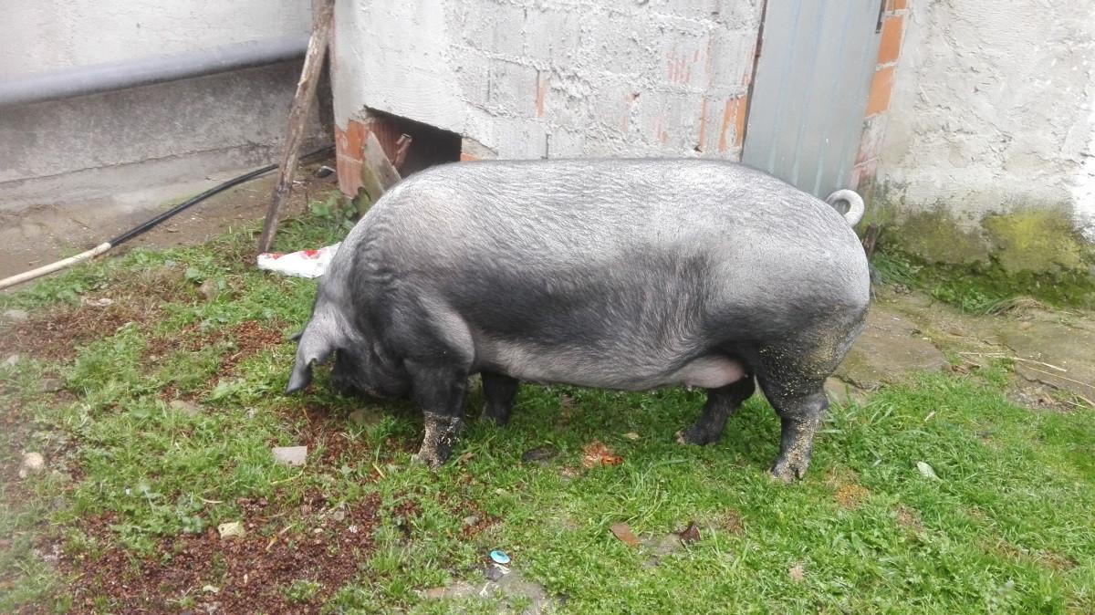 Crna slavonska svinja fajferica (64068)