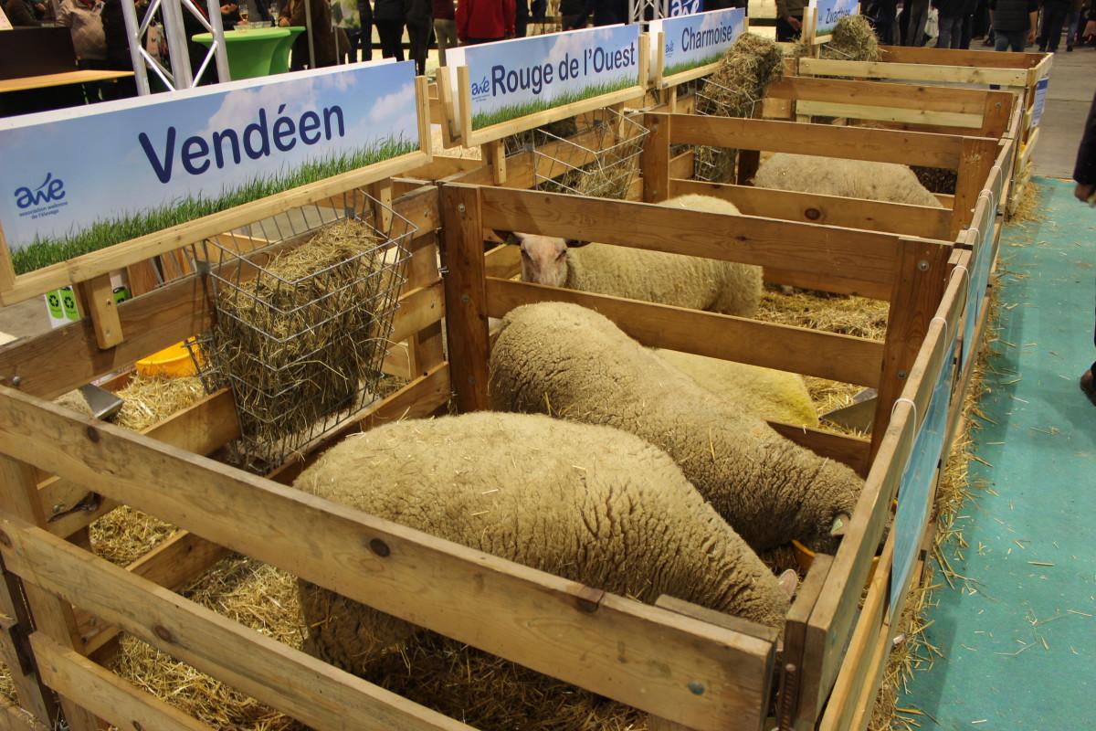 Ovce različitih pasmina (64343)