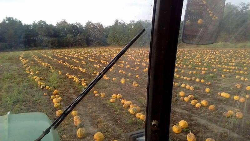 Pogled iz traktora tijekom berbe (46163)