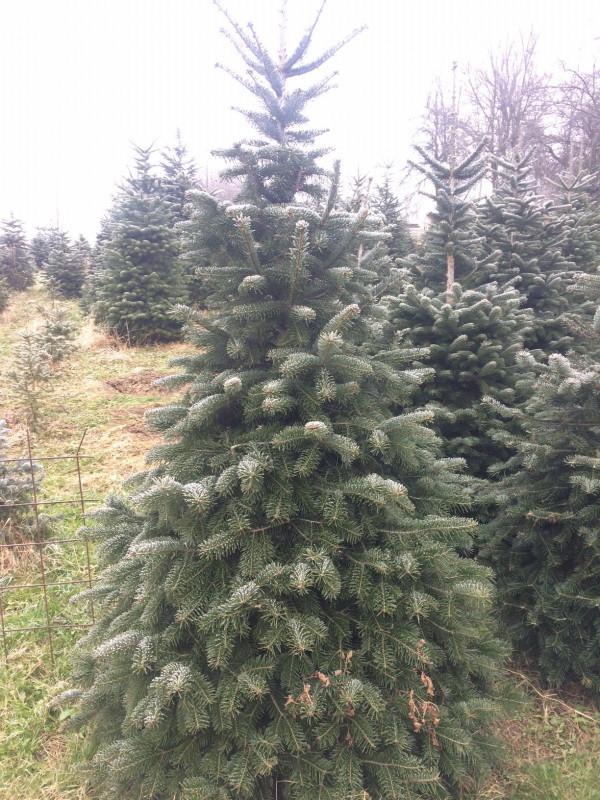 Božićna drvca (46014)
