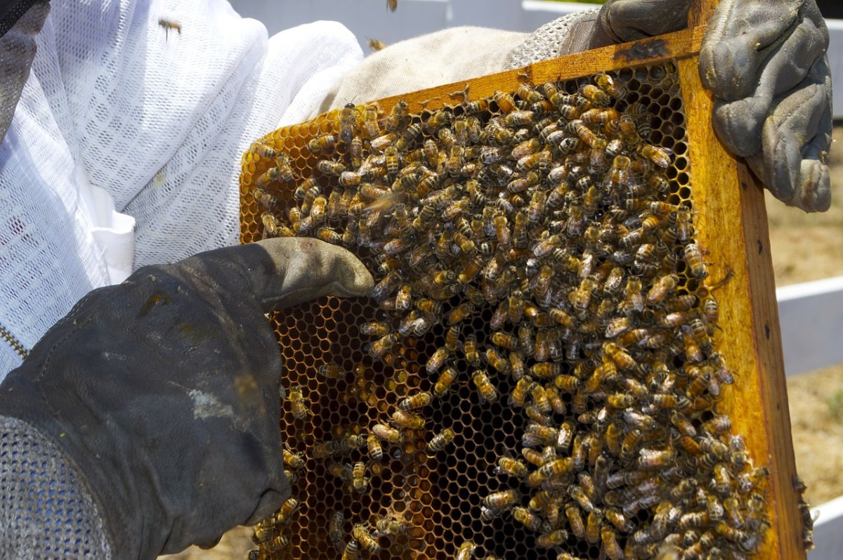 EM Probiotici pozitivno utiču na imunološki sistem pčela