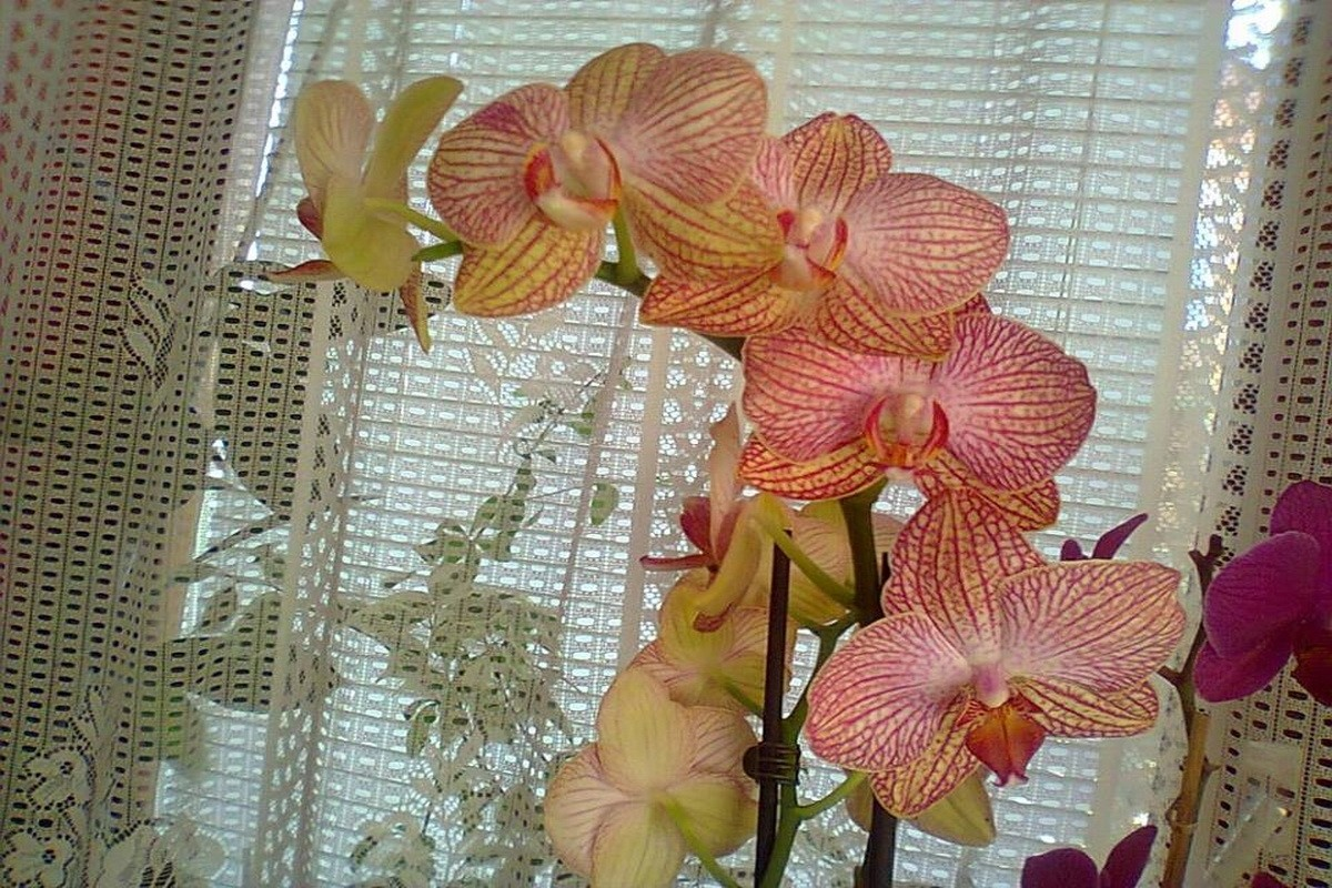 orhideje