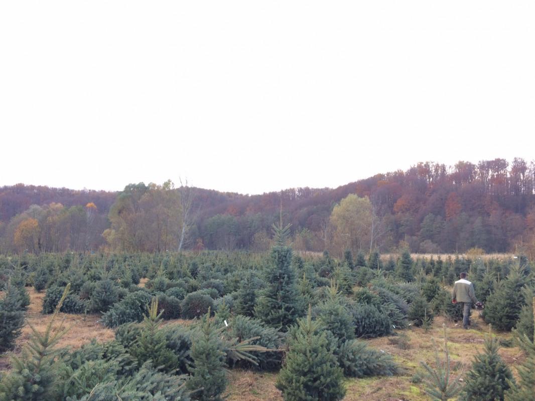 Priprema božićnih drvaca (46019)