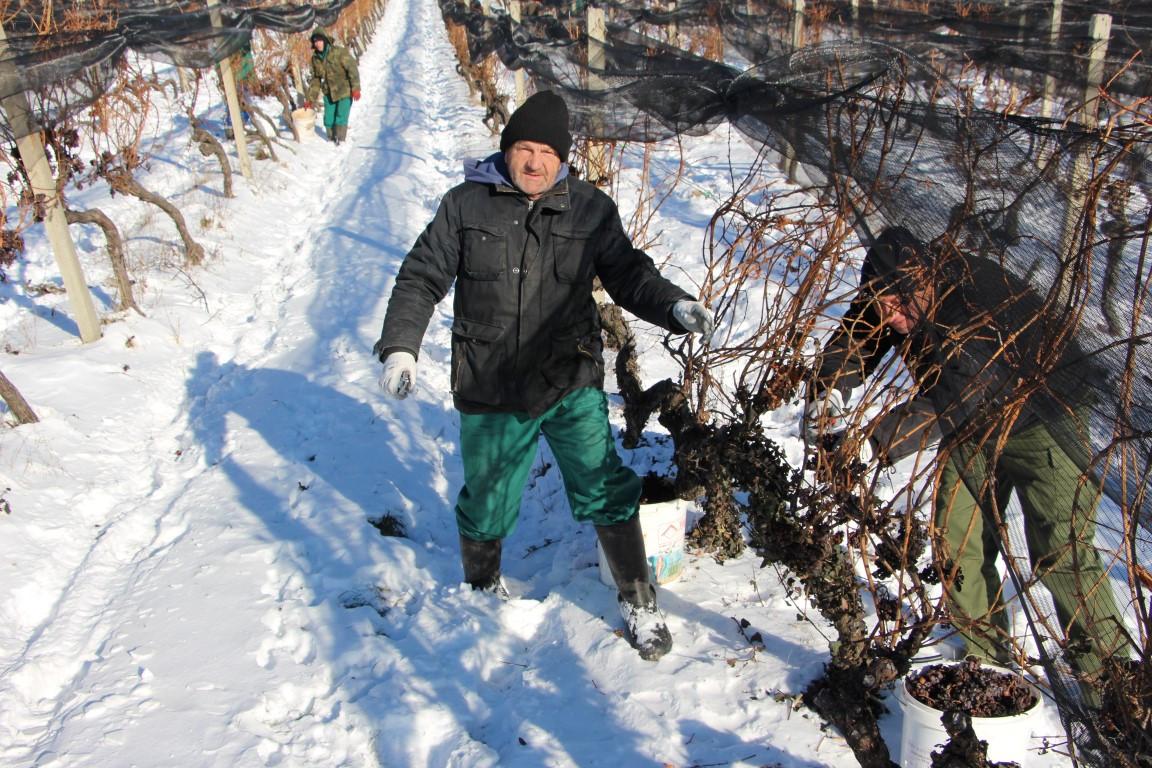 Ledena berba u Kutjevu (46945)