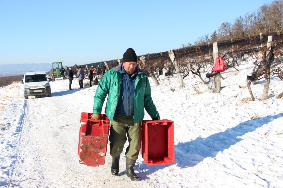 Ledena berba u Kutjevu (46927)