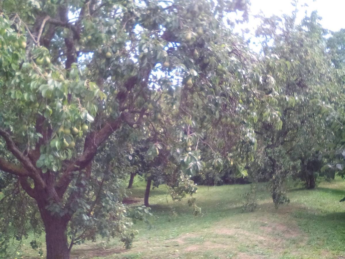 Stare sorte voća (56579)